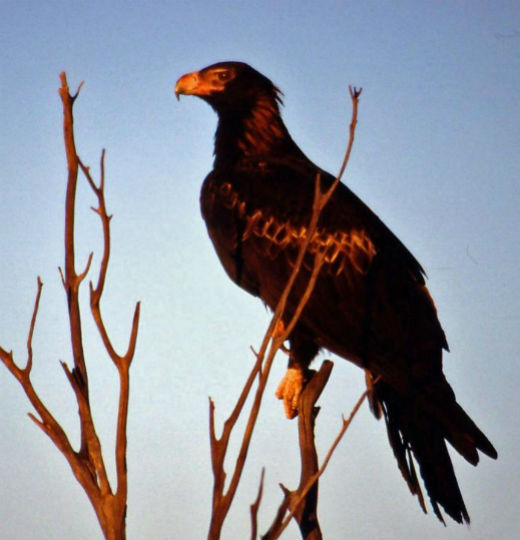 1280px-Wedge_Tailed_Eagle_540x520