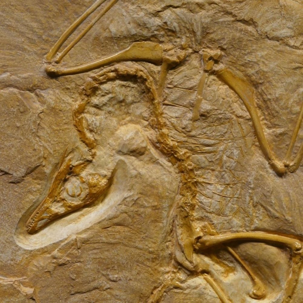 Image of a fossilised bird imprint