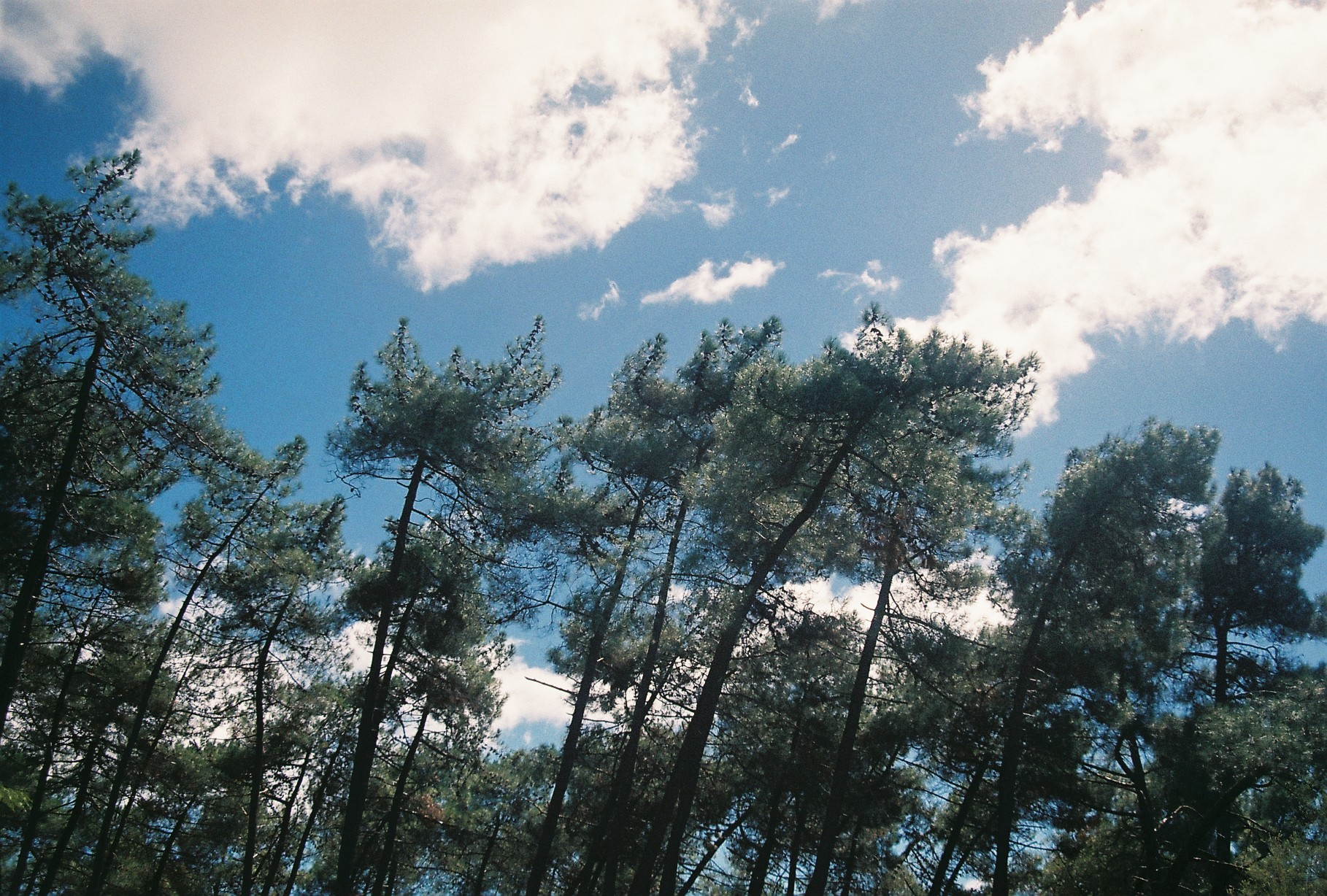 spindly pine trees against a blue sky with fluffy clouds